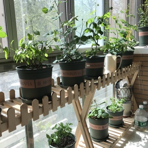 阳台与客厅春意浓~ 阳台月季苗不大,还在密集摆放中 客厅淘汰了一盆生虫的彩叶草,常春藤生虫拿到阳台上了~