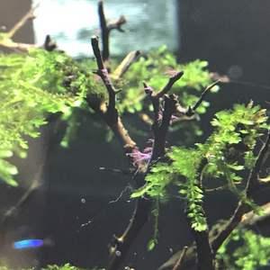 过年回老家,七天。回来看看明显感觉到草长了。开心。 今早发现很多鱼身上出现小白点。查了下叫白点病也叫小瓜虫病,只要诱因是没有恒温设备昼夜温差大导致的。 另外昨晚发现鹿角藻,有点灰蓝色,今早起来看已经发红,据说已经快死的状态了。 我放入加热棒,加热温度调整到29摄氏度,加入一点烂肉灵。百度说要加甲基蓝,这个药没注明成分,但是看颜色应该会有这个成分吧(都是蓝色,猜的)。先用着,回头去买喜瑞白点净,别人推荐的。