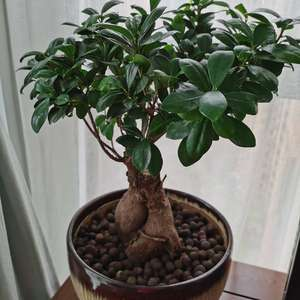 """我新添加了一棵""""榕树盆栽""""到我的""""花园"""""""