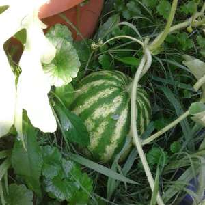 I have FOUR melons growing! woohoo