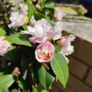 感觉茶花有返祖现象,以前是繁花🌸,现在都变成单瓣~相对繁花,我还是喜欢单瓣,感觉赚到了,哈哈