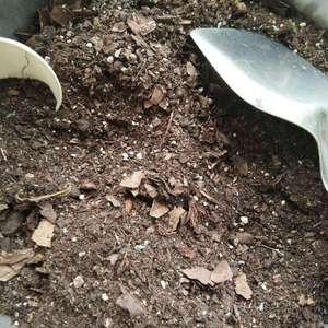根部原土未动,新土以君子兰土为主,添加了约四分之一的杂颗粒土,上盆后浇了遍透水。