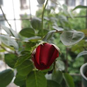 新开一朵小玫瑰