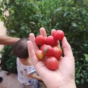 圣女果甜而多汁,某小孩特爱去寻摸,常会撕我的绿果子。😂