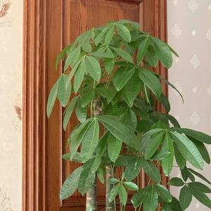 发财树、两盆绿萝、竹子都还没灌根腐灵