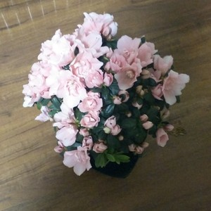 """我新添加了一棵""""粉色杜鹃花""""到我的""""花园"""""""