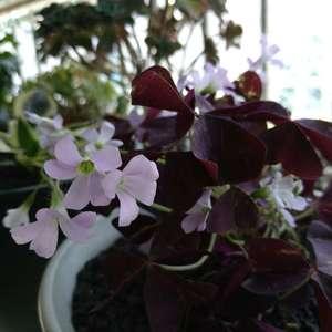 紫色三叶草