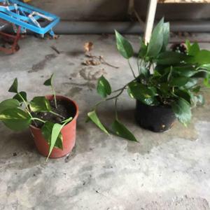 看到這盆長很茂盛 決定來分株 也不知道這樣可不可以 留了二小棵水耕