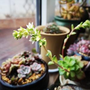 肉族,有两盆已开花,小而素静。