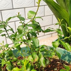 冬天移栽大盆的活了一颗 在小盆没移的那颗估计又干又冷没抗住