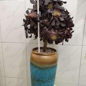 """我新添加了一棵""""黑铜壶法师蓝高盆""""到我的""""花园"""""""