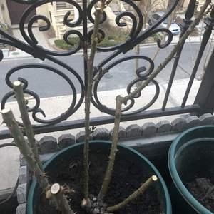 开始发芽啦,家被玉兰树占领了,换到小盆里面,霸气全无😂