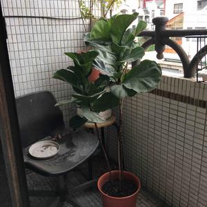 枝幹軟軟的彎了 拿竹子固定 昨天購入磷酸二氫鉀 先試試看能不能促進分枝