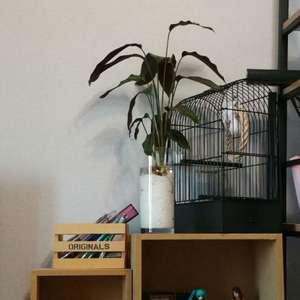 """제가 새로운 식물 """"칼라데아 진저""""한 그루를 나의 """"화원""""에 옴겼어요."""