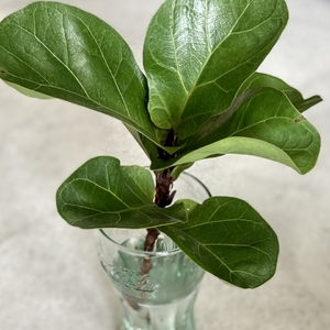 Propogating Ficus Lyrata from cutting