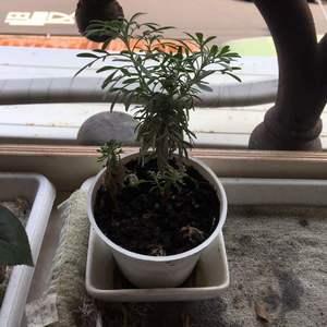 三樓這兩盆芙蓉 小白盆杄插的好像是成功了吧 頂端有小芽了
