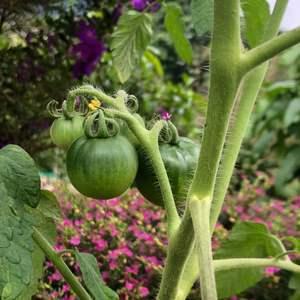 """我新添加了一棵""""果-蕃茄""""到我的""""花園""""。"""