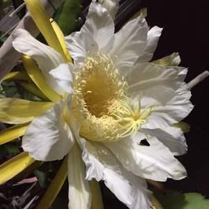 今年火龙果第一朵花,花炒鸡大