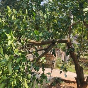 柚子太多了 枝桠被压断了