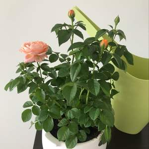 """我新添加了一棵""""月季花""""到我的""""花园"""""""