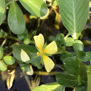 蔓生了半個池塘的台灣水龍總算有一朵花了,然而卻是殘缺不全的...