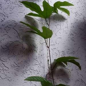 I Nuevo agregado un Passiflora edulis (planta de maracuyá) en mi jardín