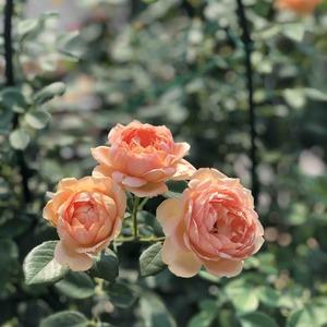 你大概是我养过开花最成功的月季了吧,不过是中间给你打了个顶,还是这么诱惑的橙,爱死爱死!