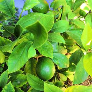 向日葵,紫苏,柠檬,金桔,无花果,花椒,桃子