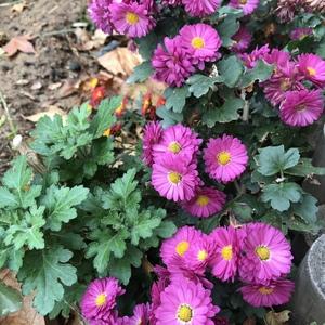 这个季节属于菊。