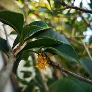 受了委屈,去年繁花满枝头,今年只零星几穗,但花香依然清幽,一如当年。
