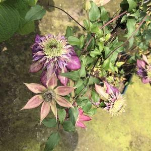 铁线莲- -紫子丸