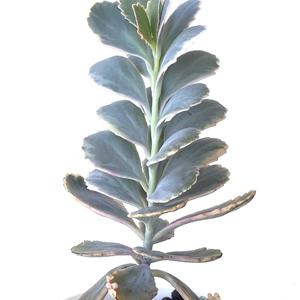 Kalanchoe Fedtschenkoi Variegata (Variegated Lavender Scallops)