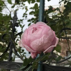 初冬里开的一大朵,好大好香,太喜欢你!