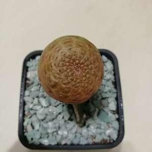 """我新添加了一棵""""Euphorbia turbiniformis 圆锥大戟""""到我的""""花园"""""""