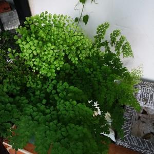 去岁的那棵大蕨没有抗过室外的严寒,今春没再发芽,倒是这棵同期的小蕨长成了规模。