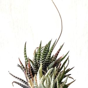 Haworthia Fasciata Elegans Variegata (Variegated Zebra Plant)