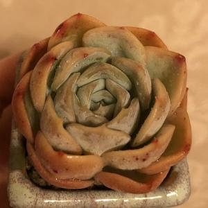 约瑟琳绿(1.38)多肉植物
