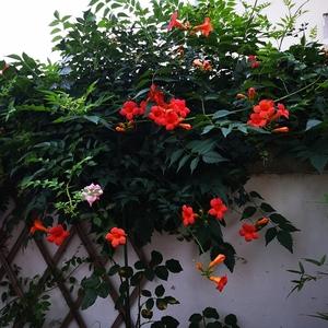 盛夏,很多花已谢,凌霄却迎来了自己最好的时候。