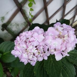 今夏最后一朵,叶子依然郁郁葱葱,不知今年还能否长出新的花蕾。