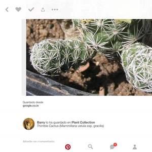I Nuevo agregado un mammillaria vetusta /cactus dedal en mi jardín