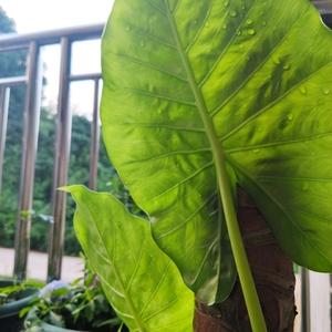 小芽也长出大叶啦 开始喜欢这种大叶植物 有拥抱和庇佑感