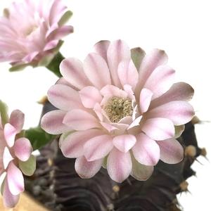 Gymnocalycium Mihanovichii blooming. Three flowers at full bloom.