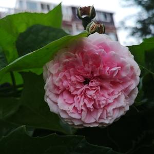 夏花和春花很不一样,几种藤本月季我逐渐分不清楚了。