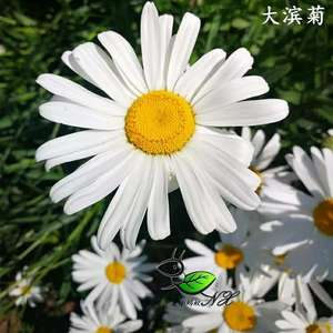 """我新添加了一棵""""大滨菊""""到我的""""花园"""""""