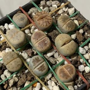 Lithops Pseudotruncatella (Truncate Living Stone)