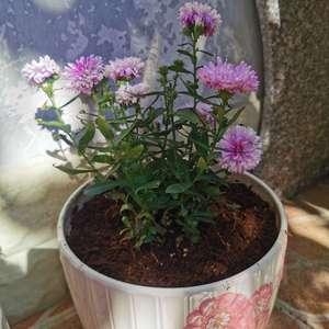 """我新添加了一棵""""翠菊""""到我的""""花园"""""""