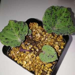 """我新添加了一棵""""Othonna perfoliata 佩科厚敦菊""""到我的""""花园"""""""