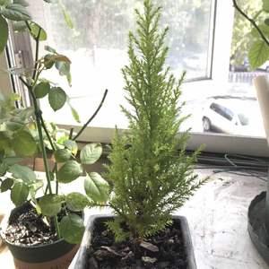 我是看不太出来有木有长……中间有很多枝条枯黄剪掉了,株型不如刚买来可爱了
