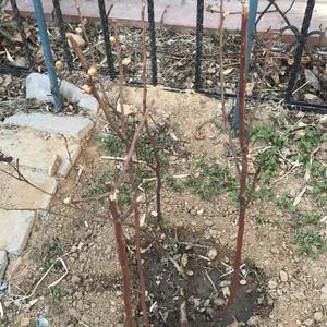 3月15日,给四株葡萄,2棵蓝莓施了有机复合肥和液体肥。