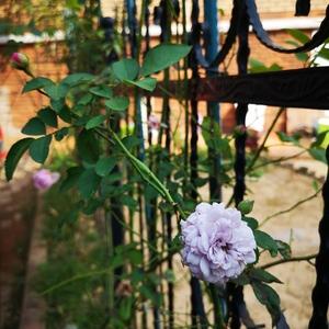 秋天,无论菊,或是月季,开花的全是惊喜。